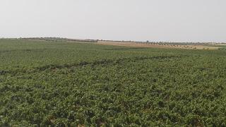 Vista del viñedo desde la terraza de la bodega